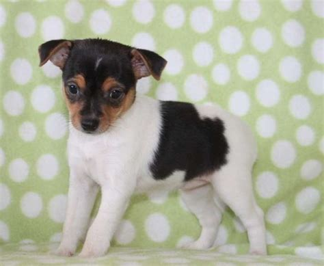 fox terrier puppies for sale near me puppies available for adoption pets world
