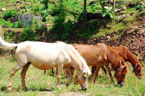 Fermentasi Pakan Ternak Kambing Gibas cara ternak sapi ternak kambing gibas fermentasi