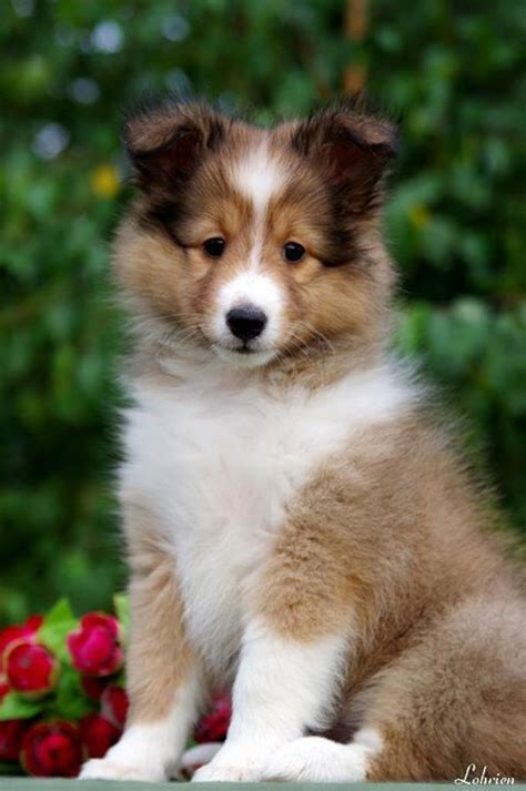 pictures of sheltie puppies 25 best ideas about shetland sheepdog puppies on shetland sheepdog