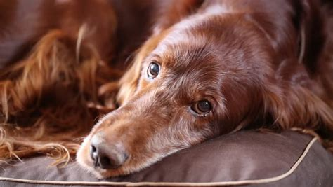 irish setter definition irish setter definition meaning