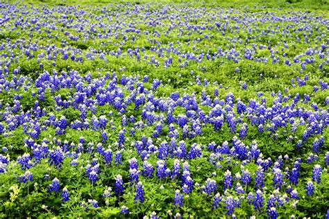 notes and visions bluebonnets texas wildflowers