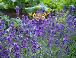 Lavendel Wann Schneiden 5405 by Lavendel Schneiden Wann Und Wie Gartentipps