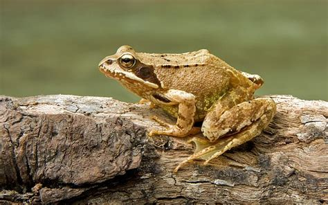 file tiny frog in hand jpg wikimedia commons file european common frog rana temporaria jpg wikipedia