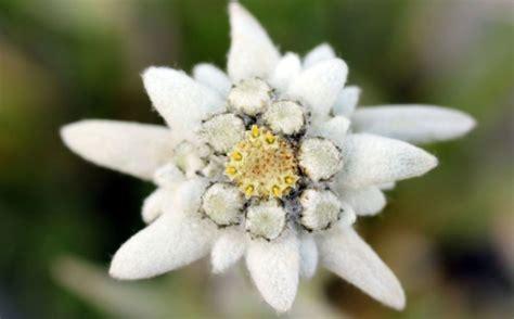 fiore stella alpina la leggenda della stella alpina l eco vicentino