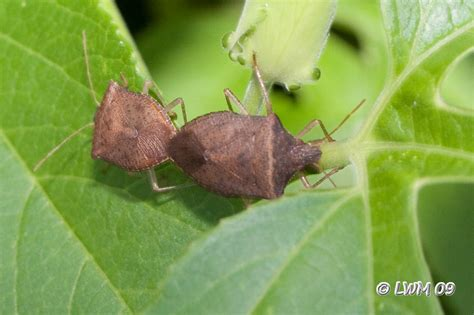 how do bed bugs mate let s mate butterfly and wildlife gardening and photography