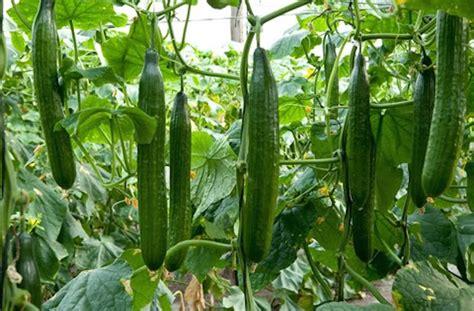 English Cucumber   Long, Straight and Narrow