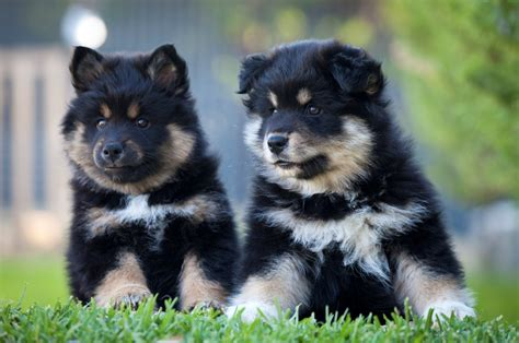 lapphund puppies lapphund breed information on lapphunds