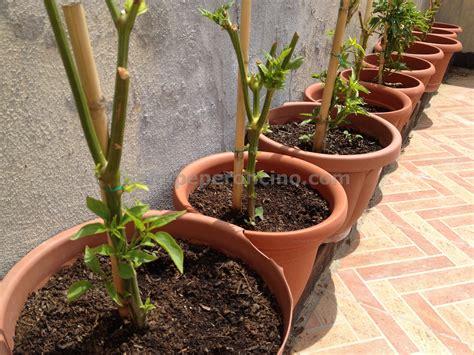 peperoncino coltivazione in vaso peperoncini la guida completa sulla coltivazione