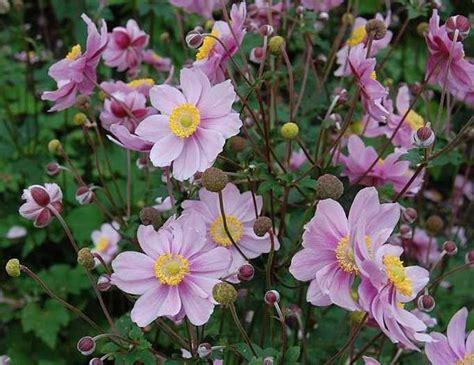 anemone x hybrida september charm is an herbaceous