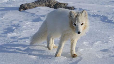arctic fox wikipedia the free encyclopedia file terianniaq qaqortaq arctic fox jpg wikipedia