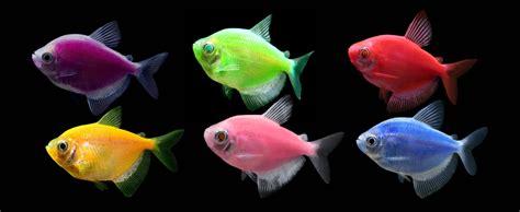 glofish colors glofish 174 experience the glo 174