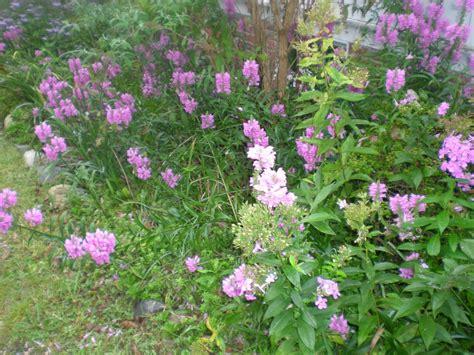purple flowered shrubs jarvis house purple flowering shrubs in september at
