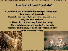 3 Interesting Facts About Jaguars Ecology Cheetah Powerpoint