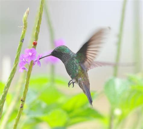 1000 images about hummingbirds of trinidad on pinterest
