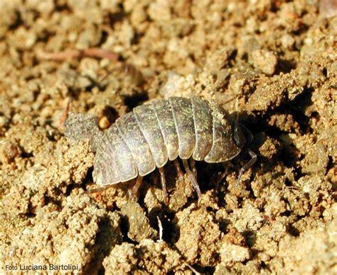 lombrichi nei vasi gli insetti suolo