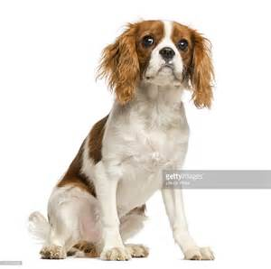 free king charles cavalier puppies cavalier king charles spaniel puppy sitting stock photo getty images