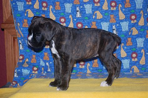 blue boxer puppies blue boxer puppies www pixshark images galleries with a bite