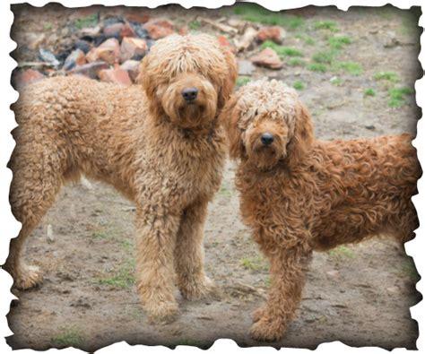 mini doodle tn elite golden doodle puppies nashville tn about