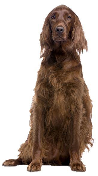 irish setter dog rescue uk home www irishsetterrescue org uk