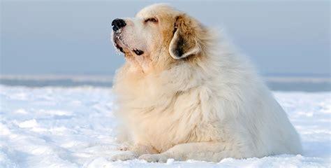 elenco cani da appartamento le 30 razze canine pi 249 docili adatte a vivere in