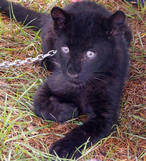 G 314 Rl baby black leopard ii by angelgrljesse on deviantart