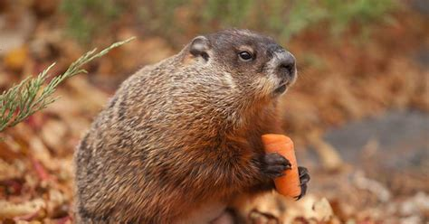 groundhog day in canada winnipeg woodchuck willow dies just before groundhog day