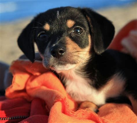 chihuahua beagle mix puppies for sale dachshund beagle mix puppies for sale breeds picture