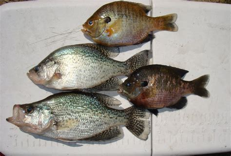 midlands outdoors santee bream  crappie fishing