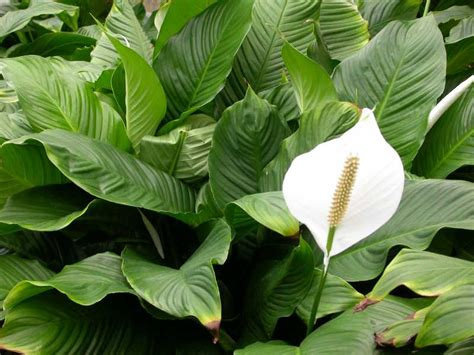 flowering house plants how to make of indoor flowering plants