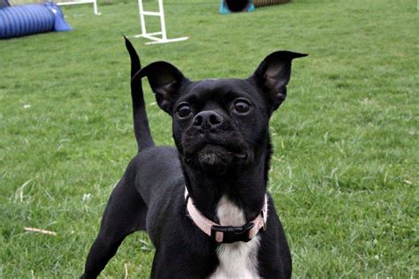 pug boston terrier chihuahua mix pictures of chihuahua boston terrier mix breeds picture