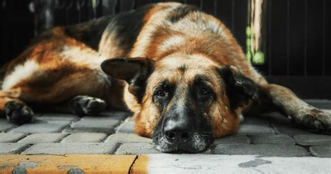What Sheds The Least by The 10 Breeds That Shed The Least Iheartdogs