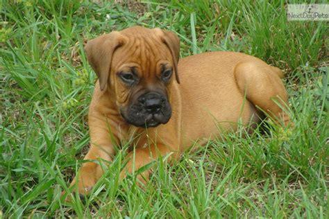 bullmastiff puppies florida bullmastiff puppy for sale near ft myers sw florida florida 6c7ccb2c 0631