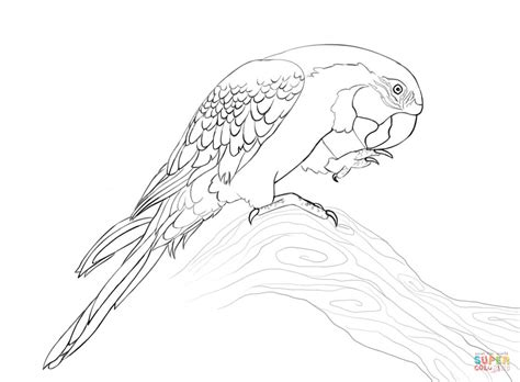 blue and gold macaw coloring page free printable