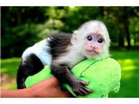 monkey ls for sale 28 images capuchin monkeys for