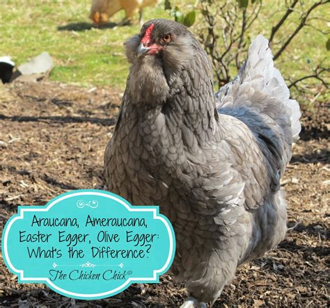 breeds with blue chicken breeds blue eggs with the chicken tips for selecting breeds chicken