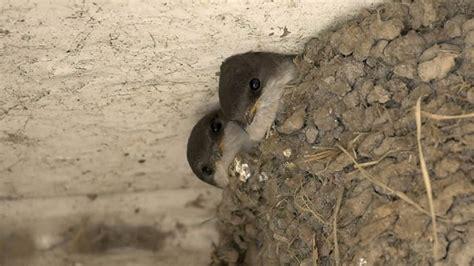the rspb birds wildlife how to make a house martin nest