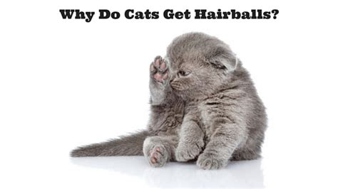 do dogs get hairballs why do cats get hairballs rufus and