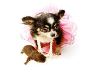 teacup chihuahua puppies for sale in houston texas teacup micro pocket chihuahua puppies for sale in houston