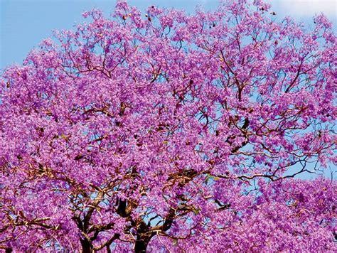 jacaranda tree with beautiful purple flowers a jewel of australia and new zealand the tree