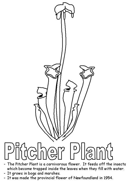 coloring pages of newfoundland pitcher coloring page