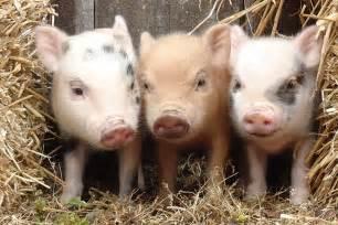 thought pig steal heart cincinnati zoo blog
