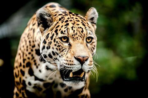 jaguar and cat big cats jaguars glance snout animal r wallpaper