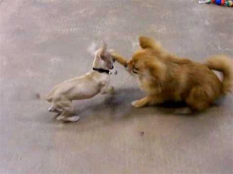 pomeranian vs chihuahua pom vs chihuahua 1