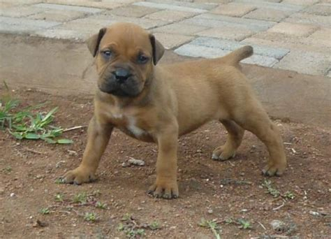 boerboel puppies boerboel puppies for sale in phalaborwa limpopo classified southafricanlisted