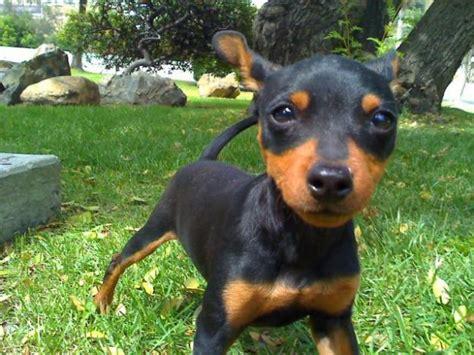 mini doberman puppies 17 best images about miniature doberman pinschers on westminster show