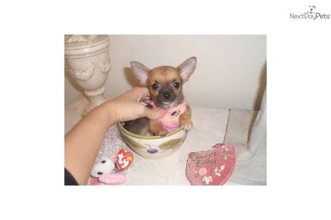 when are puppies fully grown meet 2 lbs fully grown a chihuahua puppy for sale for 2 300 micro teacup