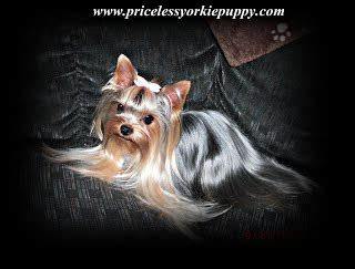 how big do teacup yorkies get why are yorkies so expensive priceless yorkie puppy
