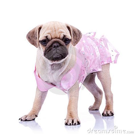 pug dress curious pug puppy wearing pink dress stock photography image 23362462