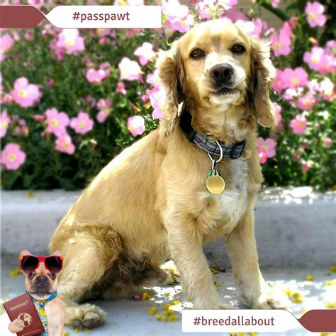 breeds starting with c breed all about it breeds starting with c cocker spaniel