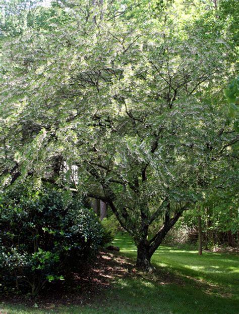 tree free wallpaper snowbell tree